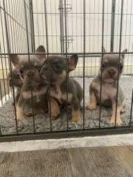 Bulldog Francês filhotinhos, com garantias de saúde e muito mais...