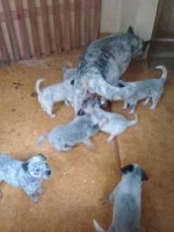 Venda de filhotes de blueheeler