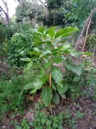 Mudas de frutíferas diversas