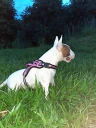 Cadella bull terrier