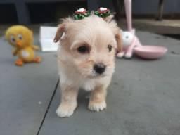 Poodle Toy perfeitas e minis fêmeas raridade de encontrar!