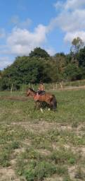 Cavalo bacheiro