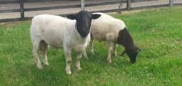 Vendo carneiro dorper