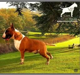 Canil Especializado em Bull Terriers