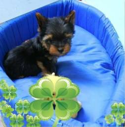 Yorkshire Terrier BB