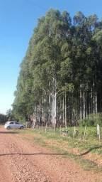 Área rural com 42,3 hectares com Floresta de Eucalipto com 12 anos