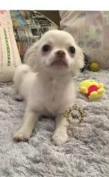 Chihuahua macho branco pelo longo