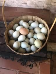 Ovos azuis GLZ galados 70 reias pente com 30 ovos