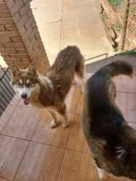Husky Siberiano com 7 mêses