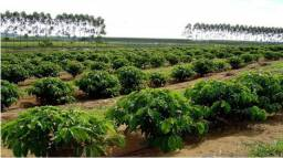 Plantacao de café ( terreno )