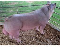 Robuster - Porcos de Raça