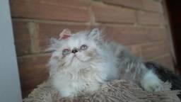 Gatos persas fêmea maravilhosas