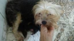 Urgente desfaço d cachorra yorkshire c filhote de uma semana