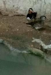Pato Mandarim