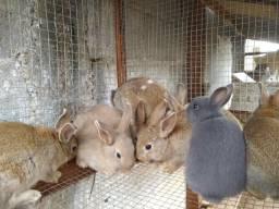 Vendo lindos filhotes de mini coelhos