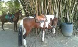 Cavalo mangalarga marchador Pampa Macho 6 anos