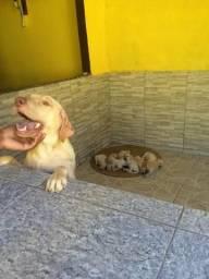 Vendo lindos filhotes de labrador