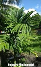 Palmeira mini Imperial