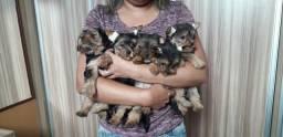 Vende-se Filhotes de Yorkshire Terrier 9 91518210