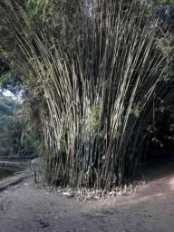 Taquara/bambu