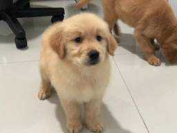 Golden Retriever femea com pedigree e microchip -Golden City Kennel