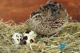 Ovos galados e filhotes de codornas