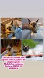 Doação de 2 gatas filhotes de raça pura