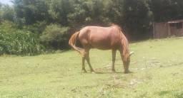 Egua mansa de tudo firme de peito vendo ou troco
