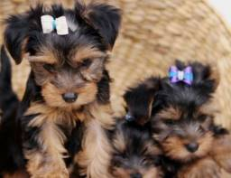 Fêmeas Yorkshire Terrier Filhotes Pedigree