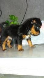 Filhote de poodle/pinscher $250,00