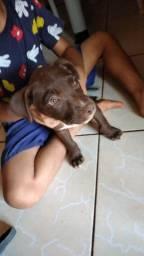 Filhote de pitbull Fêmea 2 meses
