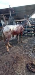 Cavalo marcha batida