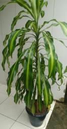 Planta para decorar 1,65 m