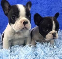 Bulldog francês top alto padrão aceito cartão