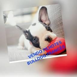 Lindos filhotes de Bulldog francês entrega imediata