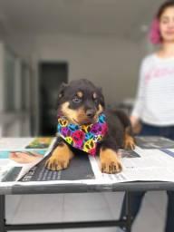 Rottweiler cabeça de touro, com garantias e suporte veterinário gratuito!