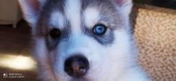 Vende-se lindos filhotes de Husky Siberiano. A pronta entrega