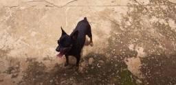 Aduando  uma cachorro pichit