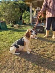 Título do anúncio: Vendo filhotes da Raça Beagle puro