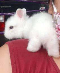 Filhotes de Mini coelhos a venda