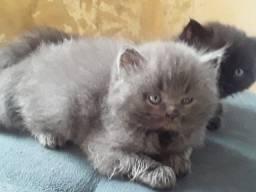 Vedem-se lindos filhotes de gato persa