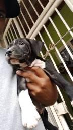 Vendo filhote de Pit bull  1 mês e meio