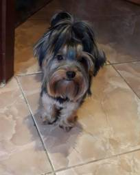 Yorkshire Terrier Macho mini (11) 94320.6743 whats