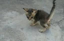 Gatinho rajado para adoção