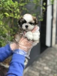 Lhasa Apso pequenos bebes disponíveis em nossas lojas! (11) 96842-5101