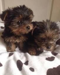 Yorkshire Terrier macho e fêmea pequeno filhote