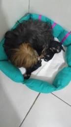 Filhotes machos de yorkshire terrier