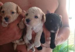Cachorrinhos poodles