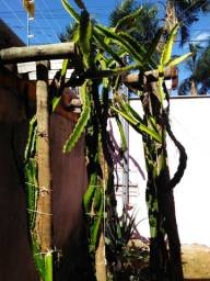 Vasos,mudas de pitaya
