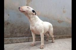 Bull terrier fêmea adulta